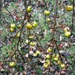 M_ Vasiljevic_Serbian_Mythology_Apples_2016